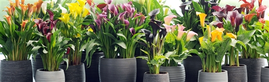 Plantes d int rieur fleuries for Grande plante appartement