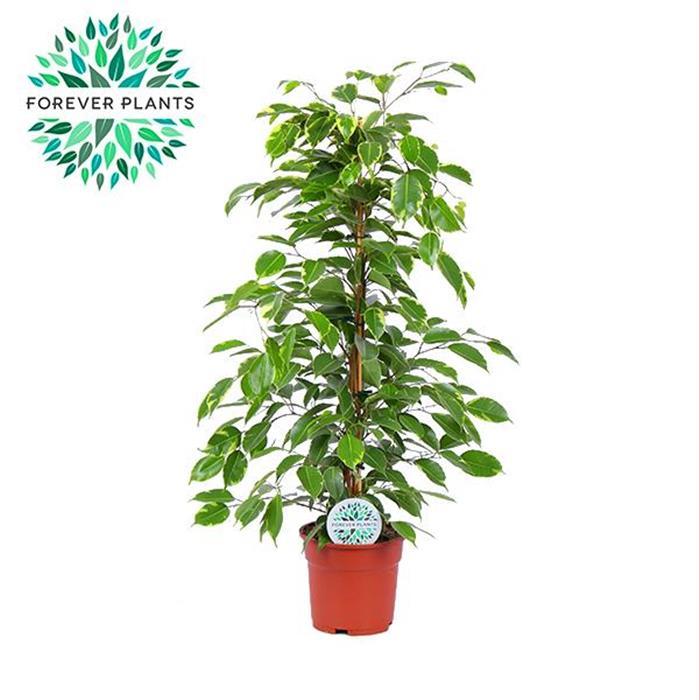 Ficus golden king horticash for Plantes artificielles rennes