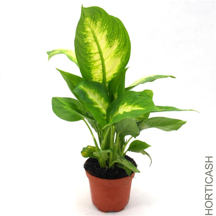 Image gallery plantes for Plante verte