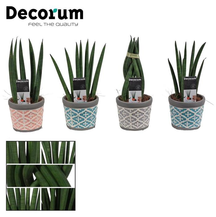 sansevieria cylindrica p beton deco horticash. Black Bedroom Furniture Sets. Home Design Ideas