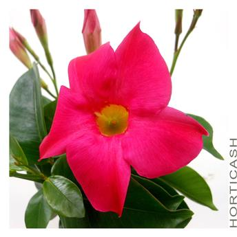 DIPLADENIA COLLECTION P COLORE