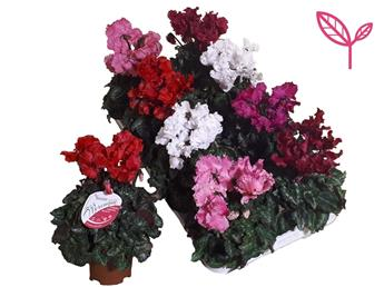 CYCLAMEN MERENGUE VARIES