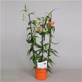 GLORIOSA ORANGE ARCEAU P COLORE