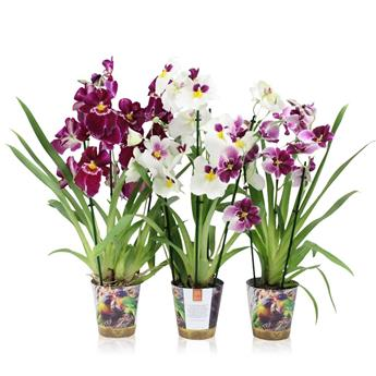 MILTONIA 3BR VARIES POTCOVER