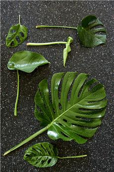 PHILODENDRON MONSTERA LEICHTLINII